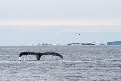 Humpback whale tail diving in the waters of the Southern Ocean o Stock Image
