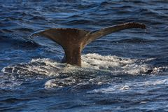 Humpback whale tail fluke andenes area Norway stock image