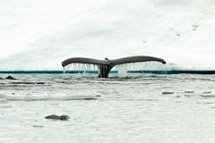 Free Humpback Whale Tail Fluke Diving In Antartic Water Stock Photography - 28905952