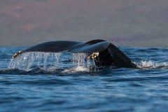 Humpback whale tail fluke near Lahaina in Hawaii. Hawaii, Maui, Lahaina, Winter stock photos