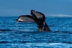 Humpback whale tail fluke near Lahaina in Hawaii. Hawaii, Maui, Lahaina, Winter royalty free stock image