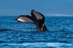 Humpback whale tail fluke near Lahaina in Hawaii. Hawaii, Maui, Lahaina, Winter royalty free stock images