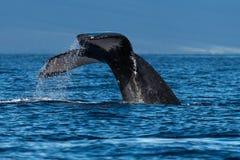 Humpback whale tail fluke near Lahaina in Hawaii. Hawaii, Maui, Lahaina, Winter royalty free stock photos