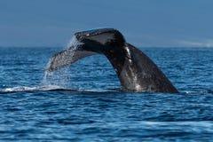 Humpback whale tail fluke near Lahaina in Hawaii. Hawaii, Maui, Lahaina, Winter stock photography