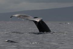 Humpback whale tail fluke near Lahaina in Hawaii. Hawaii, Maui, Lahaina, Winter royalty free stock photo