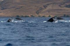 Humpback whale tail fluke. Hawaii, Maui, Lahaina, Winter stock images