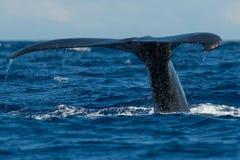 Humpback whale tail fluke. Hawaii, Maui, Lahaina, Winter royalty free stock photo