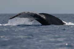 Humpback whale tail fluke. Hawaii, Maui, Lahaina, Winter royalty free stock images