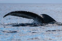 Humpback whale tail fluke. Hawaii, Maui, Lahaina, Winter royalty free stock image