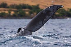 Humpback whale tail fluke. Hawaii, Maui, Lahaina, Winter stock photos