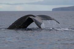 Humpback whale tail fluke. Hawaii, Maui, Lahaina, Winter royalty free stock photos