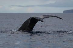 Humpback whale tail fluke. Hawaii, Maui, Lahaina, Winter royalty free stock photography