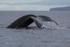 Humpback whale tail fluke. Hawaii, Maui, Lahaina, Winter stock image