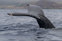 Humpback whale tail fluke. Hawaii, Maui, Lahaina, Winter stock photography