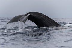 Humpback whale tail fluke. Hawaii, Maui, Lahaina, Winter stock photo