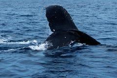 Humpback whale tail fluke. royalty free stock image