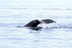 Humpback Whale Tail Fluke, Victoria, Canada. Humpback Whale swimming, showing Tail Fluke, Victoria, Canada stock photography