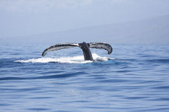Humpback whale tail flukes against blue water. Humpback whale tail flukes displayed when diving into blue waters in Maui on a sunny day Royalty Free Stock Photo