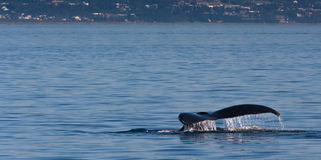 Humpback whale tail in front of coastal town Royalty Free Stock Image
