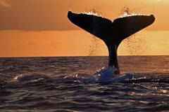 Humpback whale tail, Galapagos. Humpback whales migrate to the tropics to give birth and mate. Before deep diving they show the entire caudal fin. Shot at sunset Stock Image