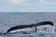 Humpback whale tail going down in blue polynesian sea royalty free stock images