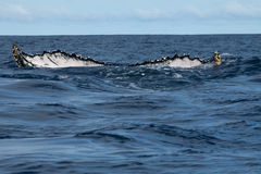 Humpback whale tail going down in blue polynesian sea. Of Tonga royalty free stock photography