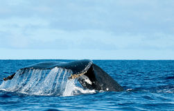 Humpback whale tail going down in blue polynesian sea stock images