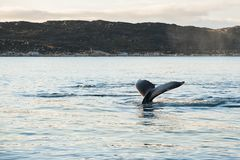 Humpback whale tail, Greenland. Humpback whale tail, Atlantic ocean, western Greenland stock photography