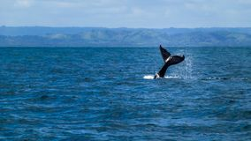 Humpback whale tail royalty free stock photography