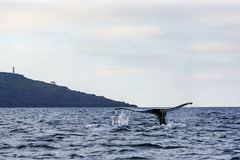 Humpback whale tail. Showing as whale dives for food in near the Cape Spear, the most easterly point in North America, Newfoundland and Labrador, Canada stock image