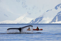 Humpback whale tail with kayak, ship, boat, showing on the dive, Antarctic Peninsula Royalty Free Stock Photos