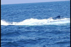 Humpback Whale Tail Lobbing stock video