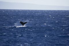 Humpback Whale Tail in Maui Hawaii. This is a photograph from a Humpback Whale Tail out of the water in Maui Hawaii with a blue ocean royalty free stock photos
