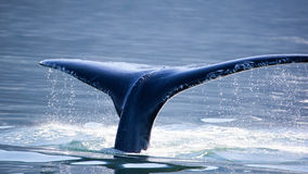Humpback Whale tail, Stock Photos