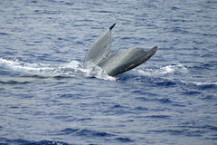 Humpback whale tail in ocean. Young Humpback whale diving in the blue Pacific ocean with tail showing Stock Image