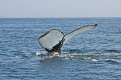 Humpback whale tail. In the ocean stock images