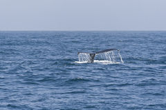 Humpback whale tail in the Pacific ocean. Royalty Free Stock Photos