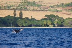 Humpback Whale Tail with Palm Trees stock photo