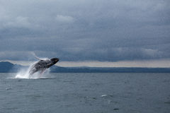 Humpback whale tail. In Samana, Dominican republic royalty free stock photo