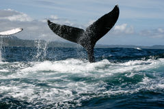 Humpback whale tail Stock Images