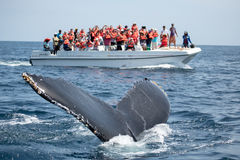 Humpback whale tail in Samana, Dominican republic and torist whale watching boat royalty free stock photos