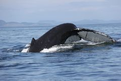 Humpback whale tail in the San Juan Islands Royalty Free Stock Photo