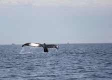 Humpback whale tail in the San Juan Islands Royalty Free Stock Image
