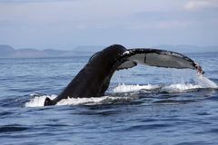 Humpback whale tail San Juan Islands Royalty Free Stock Photo