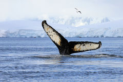 Humpback whale tail. Showing on the dive, Antarctic Peninsula Royalty Free Stock Photos