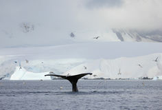 Humpback whale tail Royalty Free Stock Images