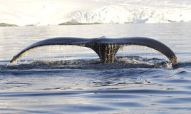 Humpback whale tail 1. Humpback whale tail that shows during the dives in Antarctic waters Stock Photography