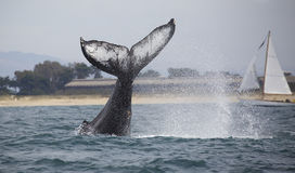 Humpback Whale Tail Slap. A humpback whale tail slaps in Monterey Bay, California Stock Photos