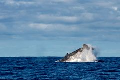Humpback whale slapping tail in Moorea French Polynesia. Humpback whale tail slap splash in pacific ocean Moorea French Polynesia royalty free stock photography