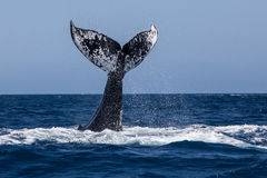 Humpback Whale Tail Slapping Royalty Free Stock Image